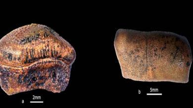 Jurassic-age shark's teeth discovered from Jaisalmer basin